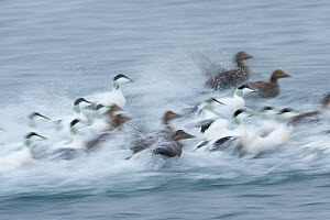 Eider ducks (Somateria mollissima) taking off from water, Norway, January  -  Erlend Haarberg