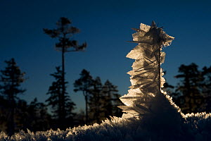 Frost-covered grasses in the pine forest, Klaebu, Norway, January 2010  -  Erlend Haarberg