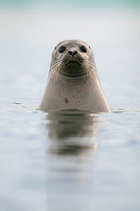 Common / Harbour seal (Phoca vitulina) looking out of water, Iceland, May  -  Erlend Haarberg