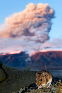 Wood mouse (Apodemus sylvaticus) feeding with ash plume from the Eyjafjallajokull volcano in the distance, Iceland, May 2010 - Erlend Haarberg