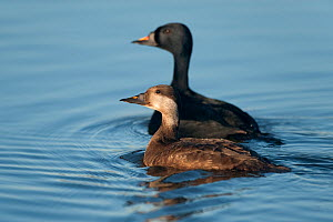 Female Black scoter (Melanitta nigra) on water with male behind, Iceland, June  -  Erlend Haarberg
