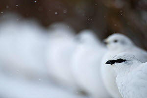 Male Rock ptarmigan (Lagopus muta) with a female and others standing in row, Iceland, March - Erlend Haarberg