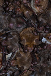 Greater mouse-eared bat (Myotis myotis), nursery roost under the roof of a church, females with young, Thuringia, Germany, July  -  Kerstin Hinze