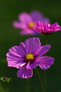 Cosmea / Cosmos flowers (Cosmos bipinnatus), cultivated in gardens, Saxony-Anhalt, Germany, September - Kerstin Hinze