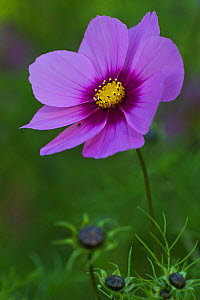 Cosmea / Cosmos flower (Cosmos bipinnatus), cultivated in gardens, Saxony-Anhalt, Germany, September - Kerstin Hinze