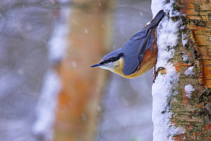 European Nuthatch (Sitta europaea) on tree trunk in snowfall, Cheshire, UK February - Ben Hall