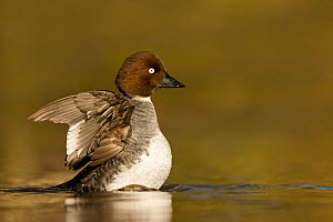 Goldeneye duck (Bucephala clangula) female flapping its wings, Lancashire, UK February - Ben Hall