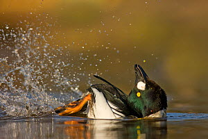 Goldeneye duck (Bucephala clangula) drake performing courtship display, Lancashire, UK February - Ben Hall