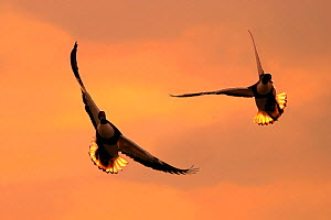 Shelducks (Tadorna tadorna) pair in flight at dusk, Lancashire, UK  -  Ben Hall