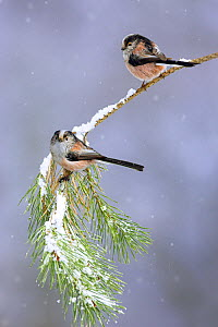 Long tailed tits (Aegithalos caudatus) pair perched on pine branch in snowfall, Cheshire, UK March - Ben Hall