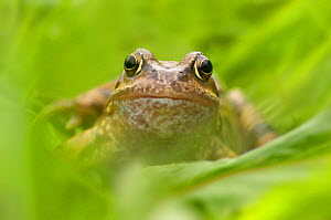 Common frog (Rana temporaria) close up portrait, Cheshire, UK - Ben Hall