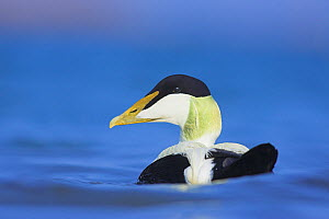 Eider (Somateria mollissima) male swimming, Northumberland, UK  -  Ben Hall