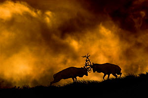 Red deer (Cervus elaphus) stags fighting at dusk during rutting season, Cheshire, UK October - Ben Hall