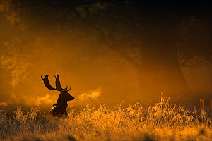 Fallow deer (Dama dama) in woodland clearing at dawn, Cheshire, UK November  -  Ben Hall