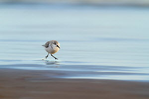 Sanderling (Calidris alba) along shorline, Lincolnshire, UK December  -  Ben Hall