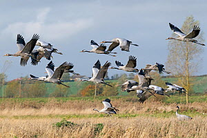 Flock of Common Crane (Grus grus) in flight over wetlands, part of the reintroduction programme headed by the RSPB on the Somerset Levels, UK, November 2011  -  David Kjaer