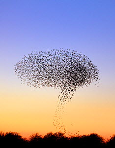 Flock of Common Starling (Sturnus vulgaris) gathering before landing at winter roost, Salisbury Plain, Wiltshire, UK, January  -  David Kjaer
