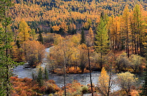 Colourful autumn views in Altai Mountains at the river Multa in Katunsky Range, with riparian leaf forest and conifers, Siberian Larch trees (Larus sibirica) and Siberian Pine trees (Pinus sibirica, g... - Konstantin Mikhailov