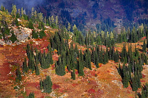 The Loop-Maple Trail heading up from Rainy Pass area of North Cascades Scenic Highway, above the tree line, with the islets of sub alpine firs and larches, North Cascades National Park Cascade Range,... - Konstantin Mikhailov