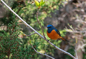 Blue-fronted redstart (Phoenicurus frontalis) male perched on branch in Mustang country, Nepal, May.  -  Konstantin Mikhailov