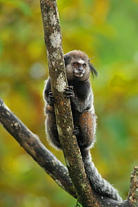 Wied's black tufted-ear marmoset (Callithrix kuhli) clinging to branch in mountainous Atlantic Rainforest of Serra Bonita Natural Private Heritage Reserve (RPPN Serra Bonita), municipality of Camacan,...  -  Luiz Claudio Marigo