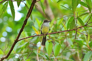 Short-crested flycatcher (Myiarchus ferox) in mountainous Atlantic Rainforest of Serra Bonita Natural Private Heritage Reserve, Camacan, Southern Bahia State, Eastern Brazil.  -  Luiz Claudio Marigo