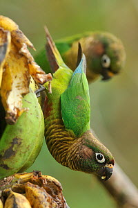 Maroon / Reddish bellied parakeet (Pyrrhura frontalis) eating banana, mountainous Atlantic Rainforest of Serra Bonita Natural Private Heritage Reserve (RPPN Serra Bonita) municipality of Camacan, Sout... - Luiz Claudio Marigo