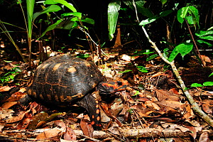 Red-footed tortoise (Geochelone carbonaria) on forest floor, Tableland Atlantic Rainforest of Vale Natural Reserve, municipality of Linhares, Esparito Santo State, Eastern Brazil.  -  Luiz Claudio Marigo