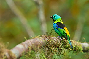 Green headed tanager (Tangara seledon) perched on branch, mountainous Atlantic Rainforest of Serra Bonita Natural Private Heritage Reserve (RPPN Serra Bonita) municipality of Camacan, Southern Bahia S... - Luiz Claudio Marigo
