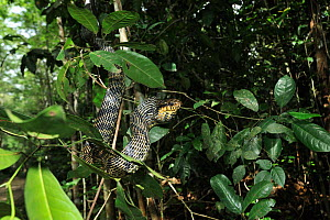 Caninana / Black and yellow rat snake (Spilotes pullatus) in tree, Tableland Atlantic Rainforest of Vale Natural Reserve, municipality of Linhares, Esparito Santo State, Eastern Brazil. - Luiz Claudio Marigo