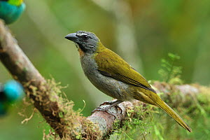 Buff-throated saltator (Saltator maximus) perched on branch in the mountainous Atlantic Rainforest of Serra Bonita Natural Private Heritage Reserve (RPPN Serra Bonita), municipality of Camacan, Southe...  -  Luiz Claudio Marigo