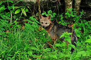 Crab-eating fox (Cerdocyon thous) standing in forest undergrowth in mountainous Atlantic Rainforest of Serra Bonita Natural Private Heritage Reserve (RPPN Serra Bonita) municipality of Camacan, Southe... - Luiz Claudio Marigo