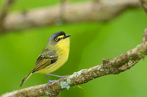 Yellow lored tody-flycatcher (Todirostrum poliocephalum) perched on branch in the mountainous Atlantic Rainforest of Serra Bonita Natural Private Heritage Reserve (RPPN Serra Bonita) municipality of C... - Luiz Claudio Marigo