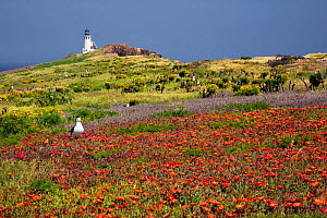 Western seagull (Larus occidentalis) among invasive Ice plant (Mesembryanthemum sp) with East Anacapa Island Lighthouse beyond, Channel Islands National Park, California, USA, April 2011. - Kirkendall-Spring