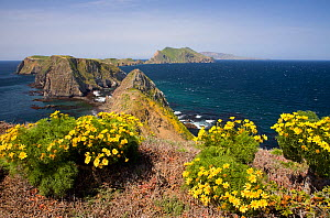 East Anacapa Island's Inspiration Point with a view of Middle and West Anacapa Islands and Santa Cruz Island with Tickseed (Coreopsis sp) blooming in foreground, Channel Island National Park, Californ... - Kirkendall-Spring