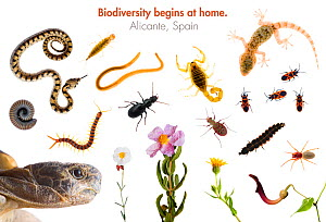 Composite of reptiles, insects, arachnids, crustaceans and flowering plants found in Alicante, Spain, Spring 2008 meetyourneighbours.net project  -  MYN / Niall Benvie