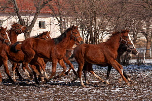 A group of rare East Bulgarian colts running in front of the historical stables, at the Kabiuk National Stud, Shumen, Bulgaria, February 2012  -  Kristel Richard