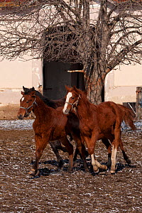 Three rare East Bulgarian colts running in front of the historical stables, at the Kabiuk National Stud, Shumen, Bulgaria, February 2012  -  Kristel Richard
