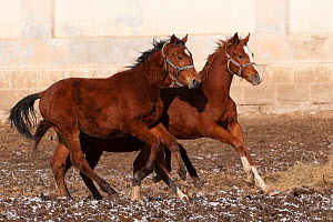 Two rare East Bulgarian colts running in front of the historical stables, at the Kabiuk National Stud, Shumen, Bulgaria, February 2012  -  Kristel Richard