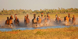 A band of semi-feral Quarter mares and foals running across a creek, Estancia Don Amerigo, Chaco, Paraguay, January 2012  -  Kristel Richard