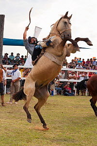 A traditionally dressed cowboy tries to remain on a bronc (unbroken) Quarter gelding, during the rodeo of the Festival de la Doma y el Folclore, Estancia Tacuaty, Misiones, Paraguay, January 2012  -  Kristel Richard