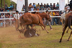 A traditionally dressed cowboy has fallen under a bolting bronc (unbroken) Quarter mare, during the rodeo of the Festival de la Doma y el Folclore, Estancia Tacuaty, Misiones, Paraguay. Sequence 6/7.... - Kristel Richard