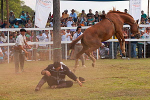 A bronc (unbroken) Quarter mare bolts after having thrown out a traditionally dressed cowboy, during the rodeo of the Festival de la Doma y el Folclore, Estancia Tacuaty, Misiones, Paraguay. Sequence...  -  Kristel Richard
