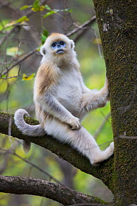 Quinling Golden snub nosed Monkey (Rhinopitecus roxellana qinligensis), infant sitting in a tree. Zhouzhi Nature Reserve, Qinling Mountains, Shaanxi, China.  -  Florian Möllers
