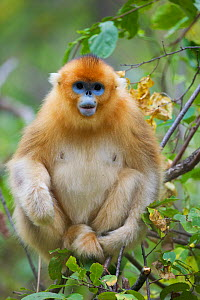 Quinling Golden snub nosed Monkey (Rhinopitecus roxellana qinligensis), adult female sitting in a tree. Zhouzhi Nature Reserve, Qinling Mountains, Shaanxi, China.  -  Florian Möllers