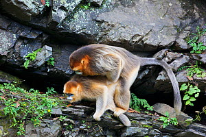 Quinling Golden snub nosed monkey (Rhinopitecus roxellana qinlingensis), pair mating on cliff rocks,  Zhouzhi Nature Reserve, Qinling Mountains, Shaanxi, China.  -  Florian Möllers