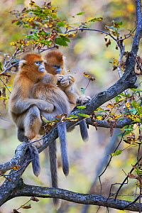 Quinling Golden snub nosed Monkey (Rhinopitecus roxellana qinligensis), two females with young grooming. Zhouzhi Nature Reserve, Qinling Mountains, Shaanxi, China.  -  Florian Möllers