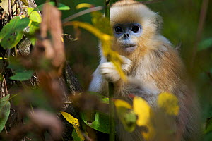 Quinling Golden snub nosed monkey (Rhinopitecus roxellana qinlingensis), infant peering through leaves. Zhouzhi Nature Reserve, Qinling Mountains, Shaanxi, China.  -  Florian Möllers