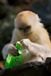 Quinling Golden snub nosed Monkey (Rhinopitecus roxellana qinlingensis) infant examining plastic bottle. Zhouzhi Nature Reserve, Qinling Mountains, Shaanxi, China.  -  Florian Möllers