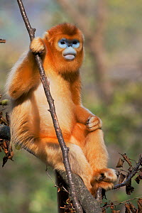 Quinling Golden snub nosed Monkey (Rhinopitecus roxellana qinlingensis), adult male with blue face sitting in a tree. Zhouzi Nature Reserve, Qinling Mountains, Shaanxi, China.  -  Florian Möllers